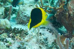 BD-101213-Playa-del-Carmen-3165-Holacanthus-tricolor-(Bloch.-1795)-[Rock-beauty].jpg